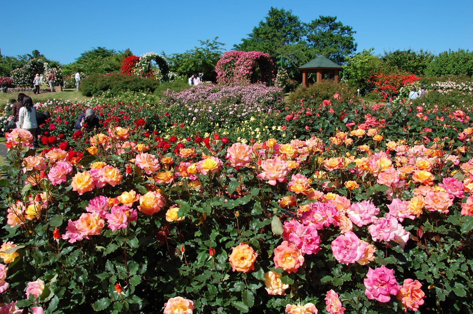 京成バラ園へのアクセス・入園料は?開花情報や見どころをを紹介!