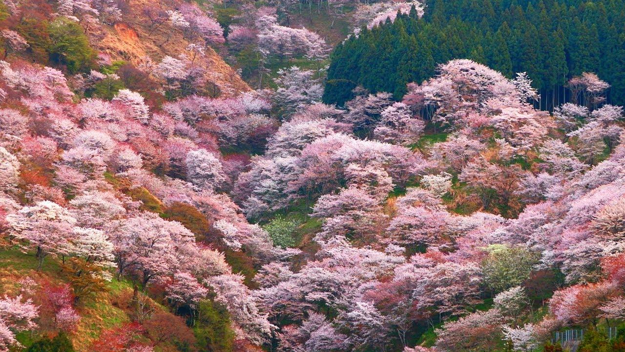 吉野山の桜の見頃情報!千本桜へのアクセス・周辺ランチもご紹介
