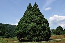 トトロの木・山形の大杉はトトロそっくり!ジブリファン必見のパワースポット!