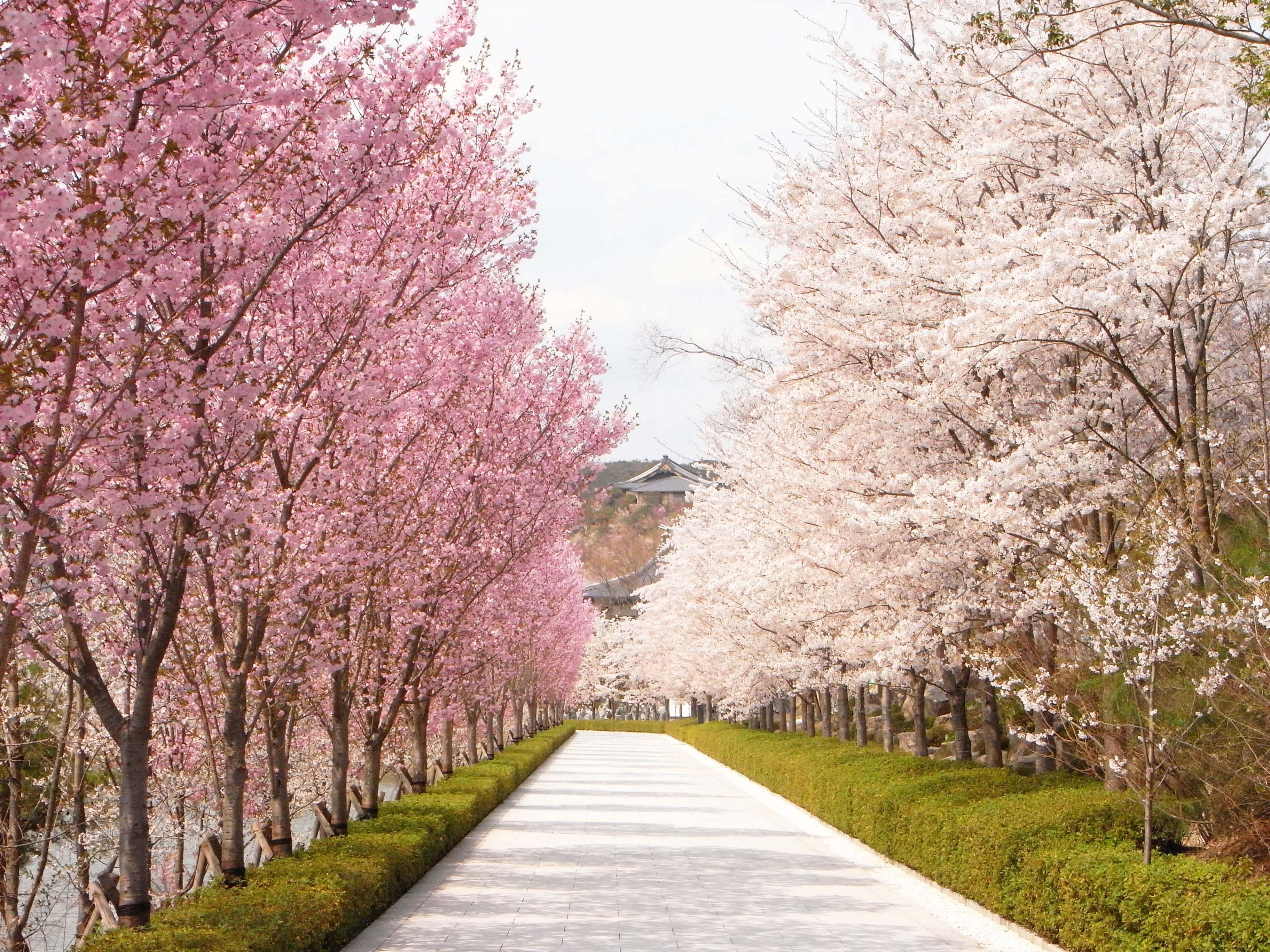千葉の桜の名所と開花予想!桜祭りに人気夜桜スポット紹介!お花見に!