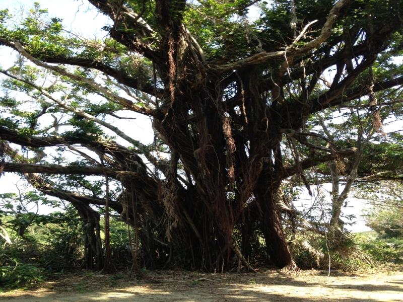 キジムナーとは?沖縄の樹木に住む幸運の精霊?目撃情報もあり!
