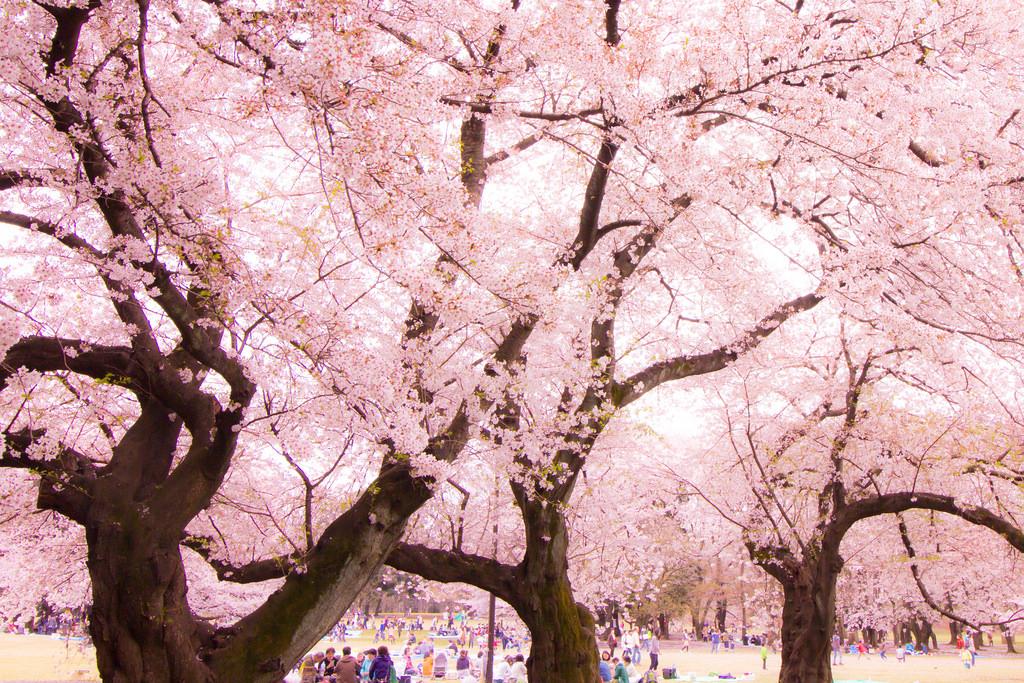 関西の桜おすすめの名所は?見頃やライトアップの時期・お花見の穴場も紹介!