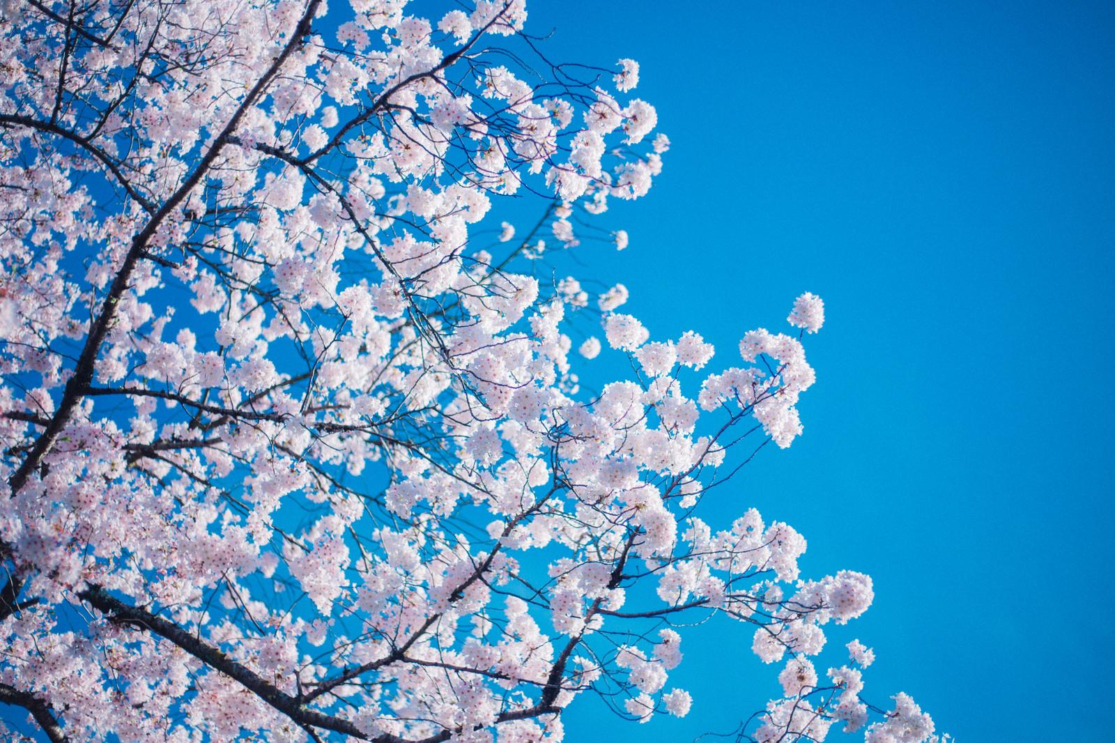 河口湖おすすめの桜の名所は?見頃や祭り・人気の撮影スポットもご紹介!