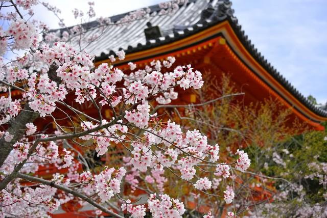 仁和寺は京都が誇る世界遺産!アクセスや拝観料など観光情報を紹介