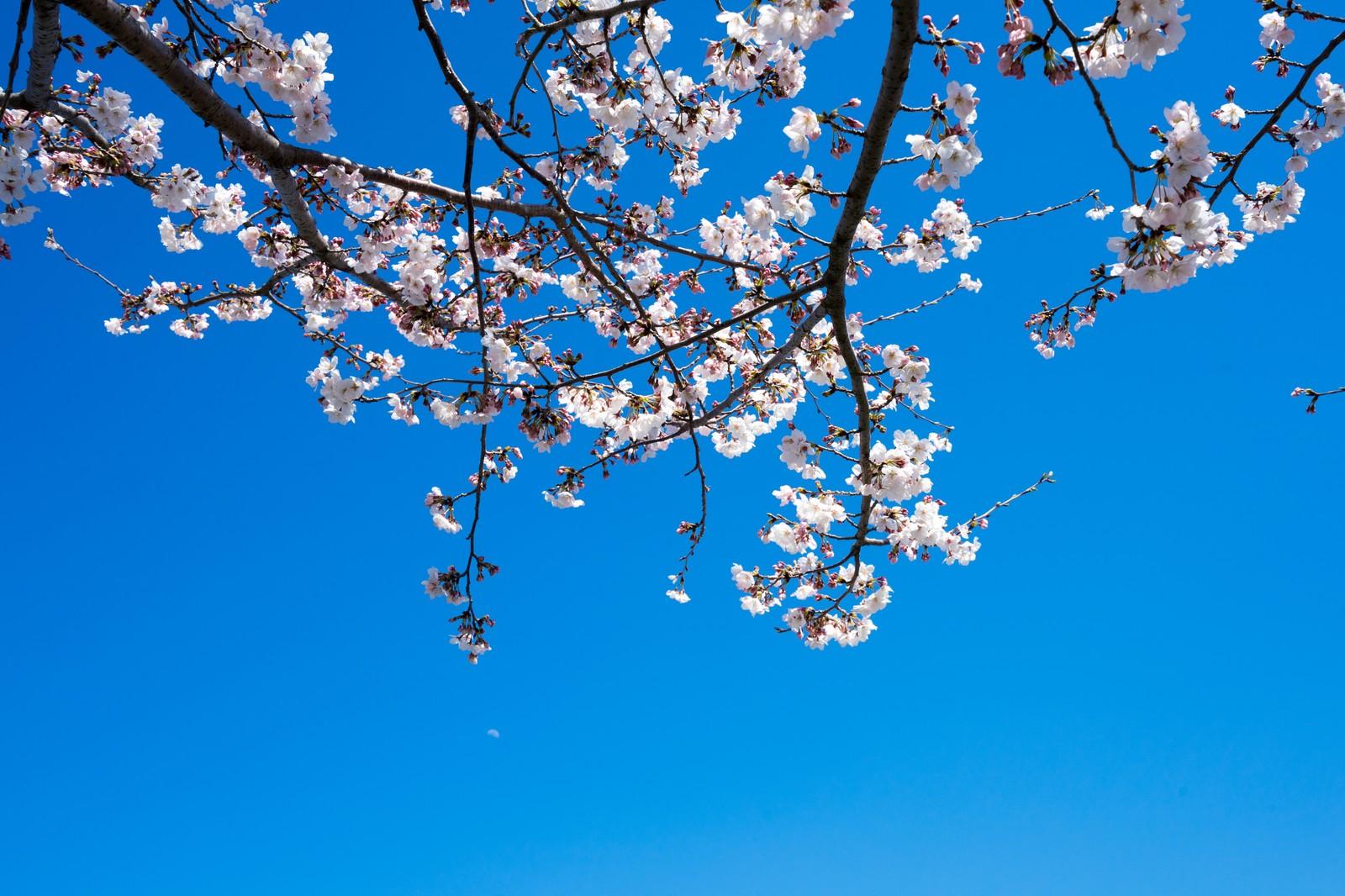 小田原城の桜はいつが見頃?ライトアップや風情を堪能しよう!