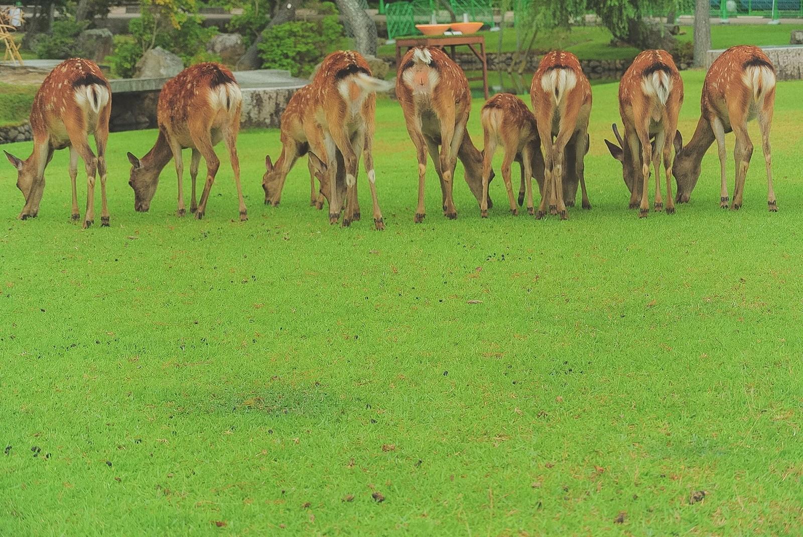 奈良公園に鹿を見に行こう!餌は鹿せんべいをあげるのがマナー!注意点など紹介
