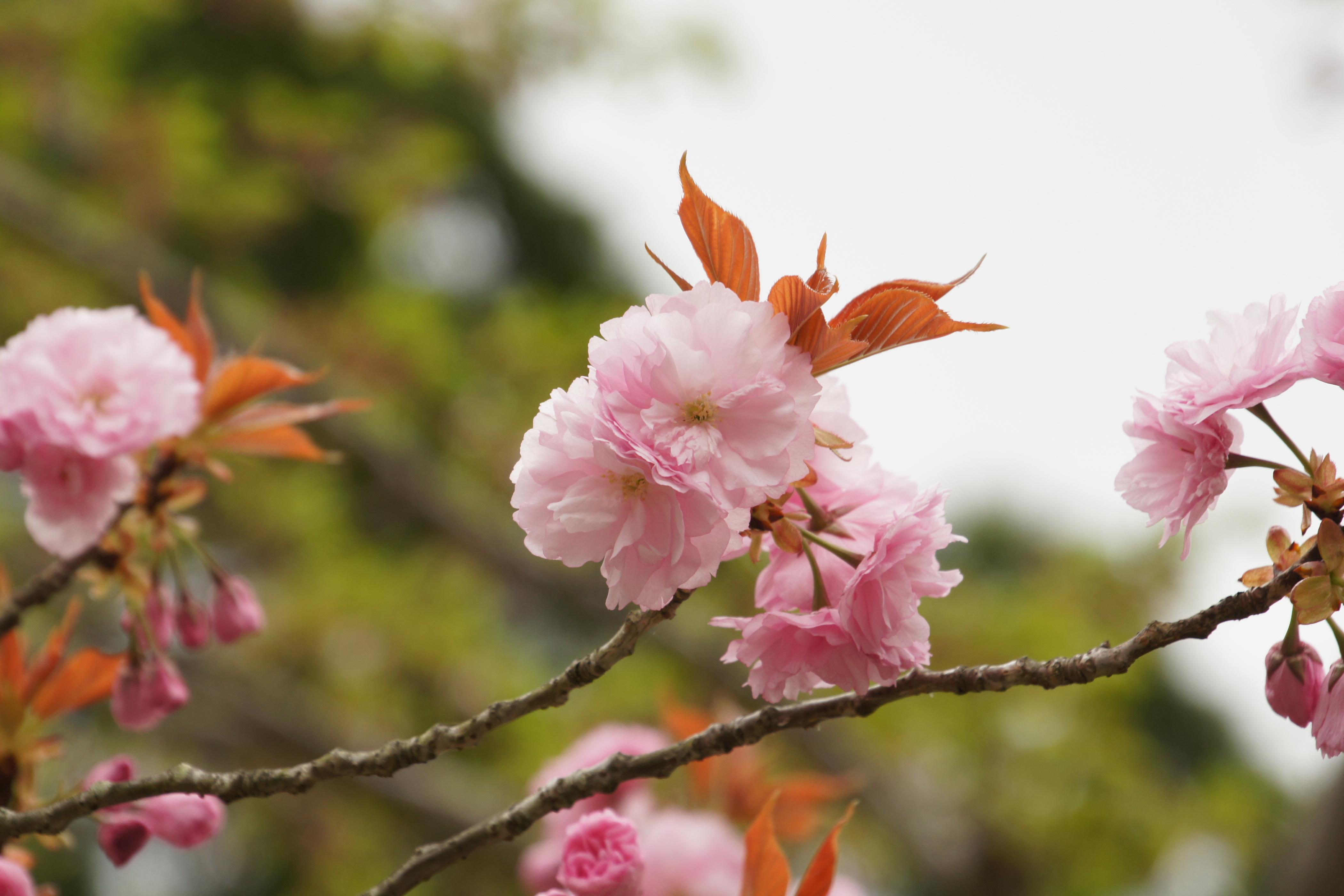 新潟の桜の名所は?ライトアップで夜桜にうっとり!穴場情報も!