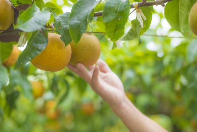 千葉県内の梨狩りスポット特集!おすすめ&人気の農園をまとめて紹介!