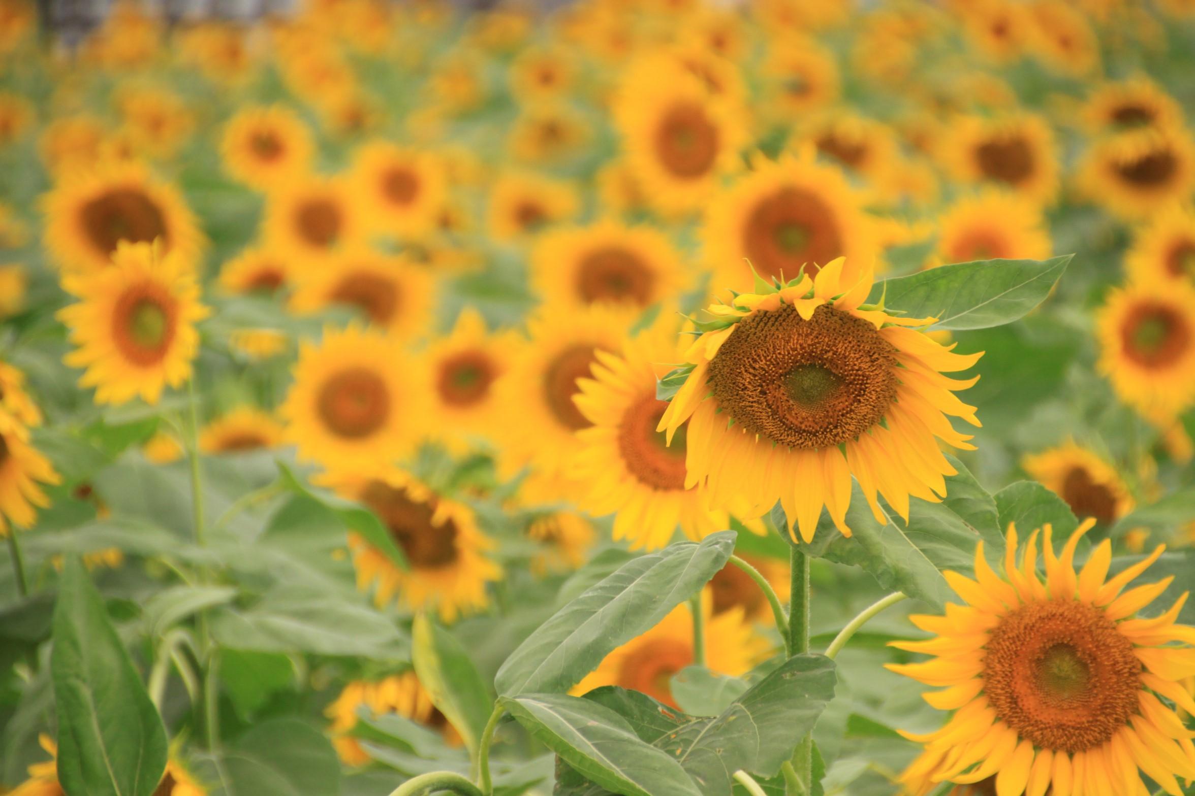 ぜるぶの丘のひまわり畑は絶景!見頃はいつ?ひまわり以外にも花がいっぱい!