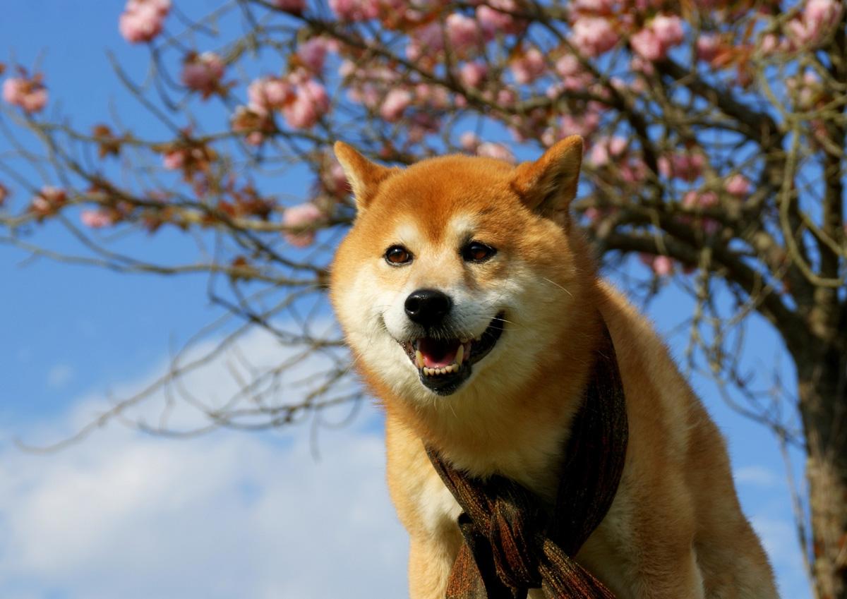 柴犬の里が熊本に!阿蘇で散歩体験!アクセス・料金などご紹介!