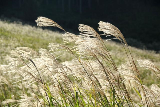 仙石原のすすきは絶景!黄金色に広がる草原の見頃やアクセス情報!