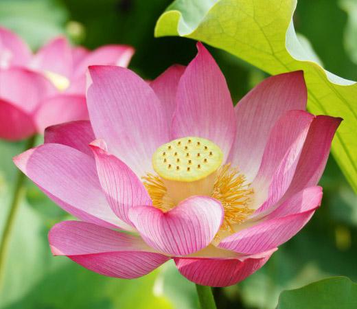鎌倉の光明寺へのアクセスや御朱印情報をご紹介!桜や蓮の名所としても人気!