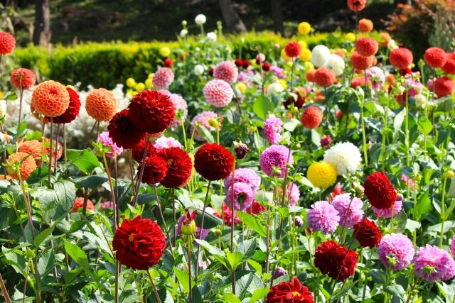 山形「川西ダリヤ園」の規模は日本一!開花の見頃はいつ?球根販売もあり!