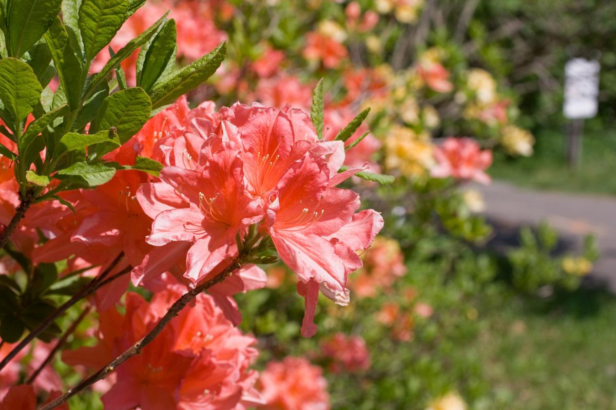 甘利山で日帰り登山を楽しもう!ツツジの開花時期や絶景ポイントへのアクセスは?