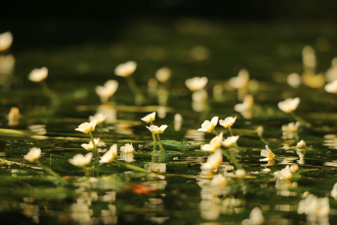 梅花藻を滋賀に見に行こう!見頃やライトアップの時期もご紹介!