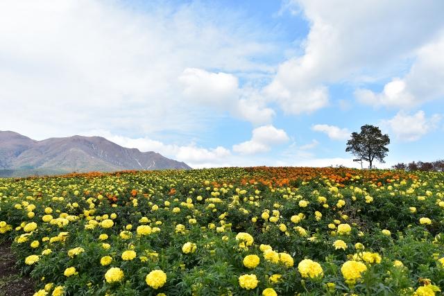 くじゅう花公園で四季折々の花畑を満喫!料金やアクセス方法は?