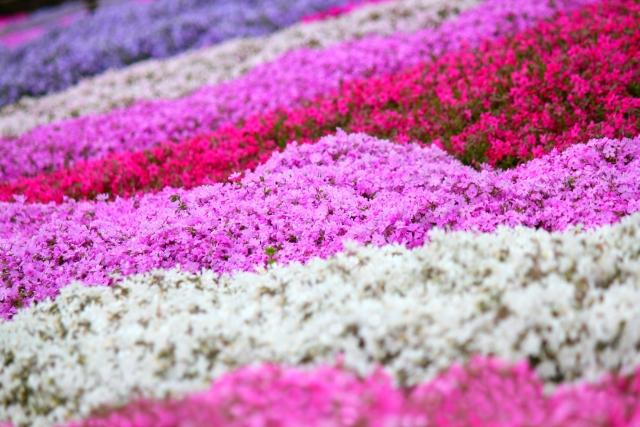富田さとにわ耕園できれいな芝桜・ネモフィラにうっとり!アクセス・駐車場は?
