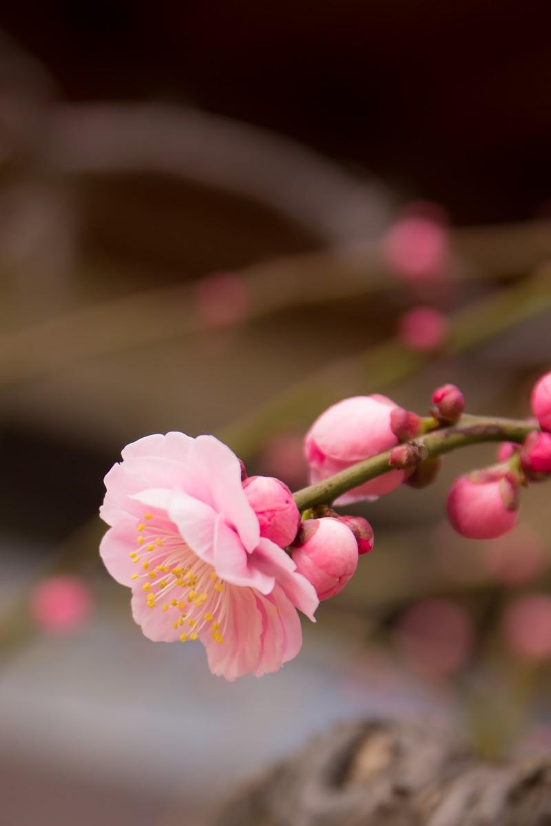 【2020年】水戸偕楽園の梅の開花予想・見頃は?梅まつりの情報も!