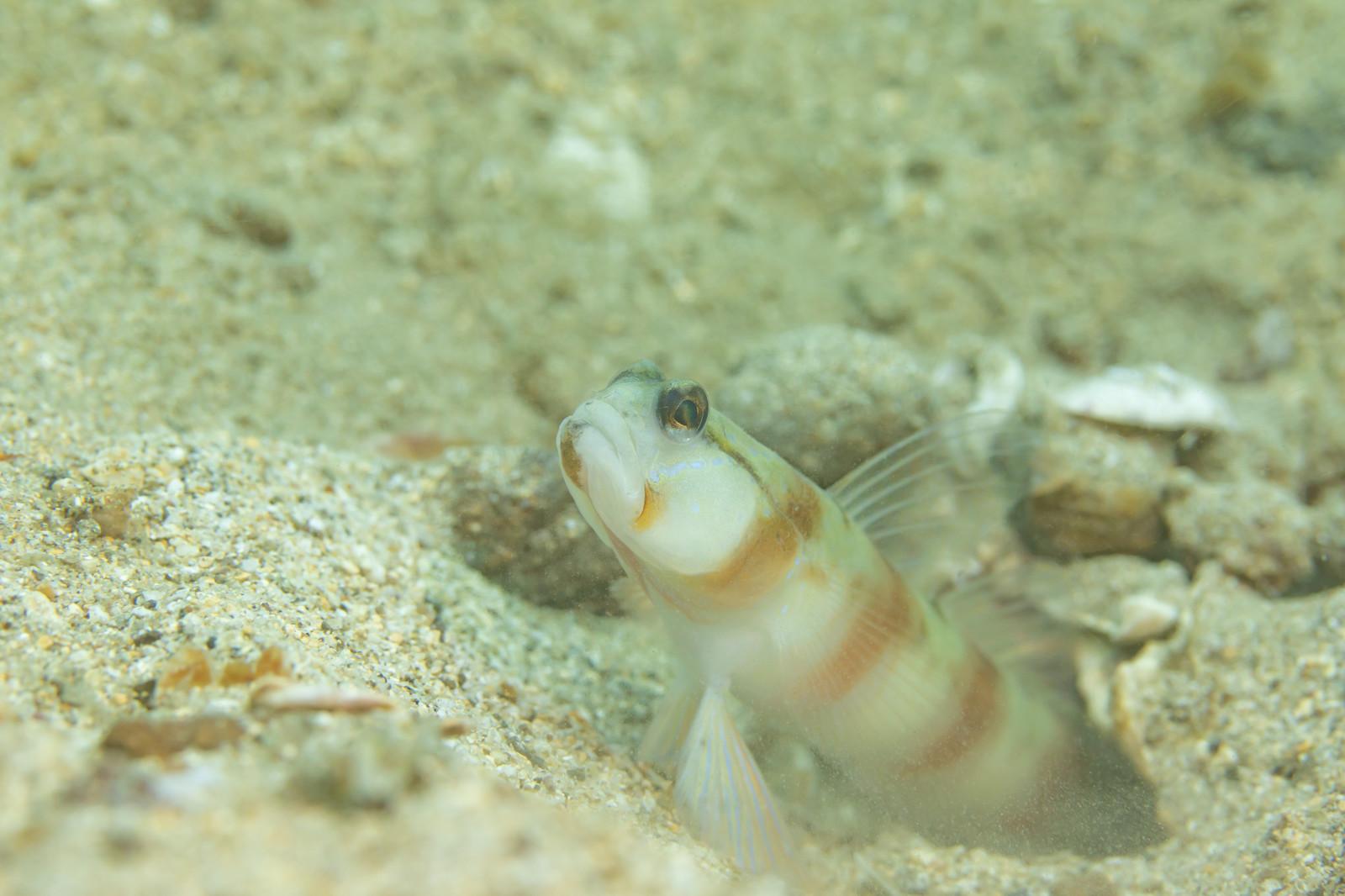 ワラスボは九州で獲れるエイリアンのような魚!おすすめの食べ方を紹介!