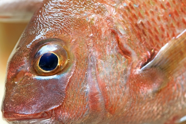 魚が美味しくなる「活け締め」の方法は?神経締めとの違いもリサーチ!