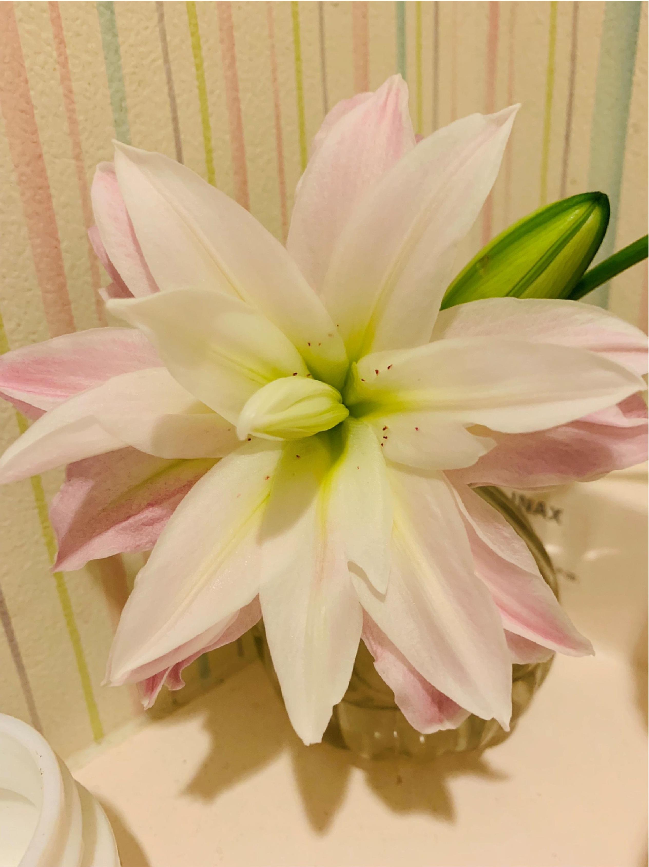 オリエンタルリリー 八重咲き アスカ