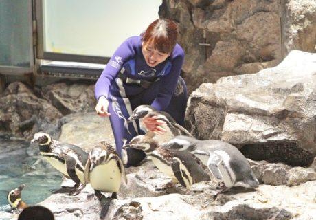 すみだ水族館の飼育スタッフは、ペンギン一羽一羽、どの子がどのくらいの量を食べたか確認しながらエサをやります。