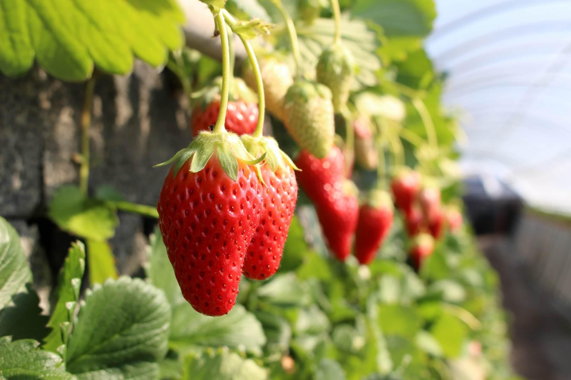 千葉県で人気のイチゴ狩りスポットを紹介!