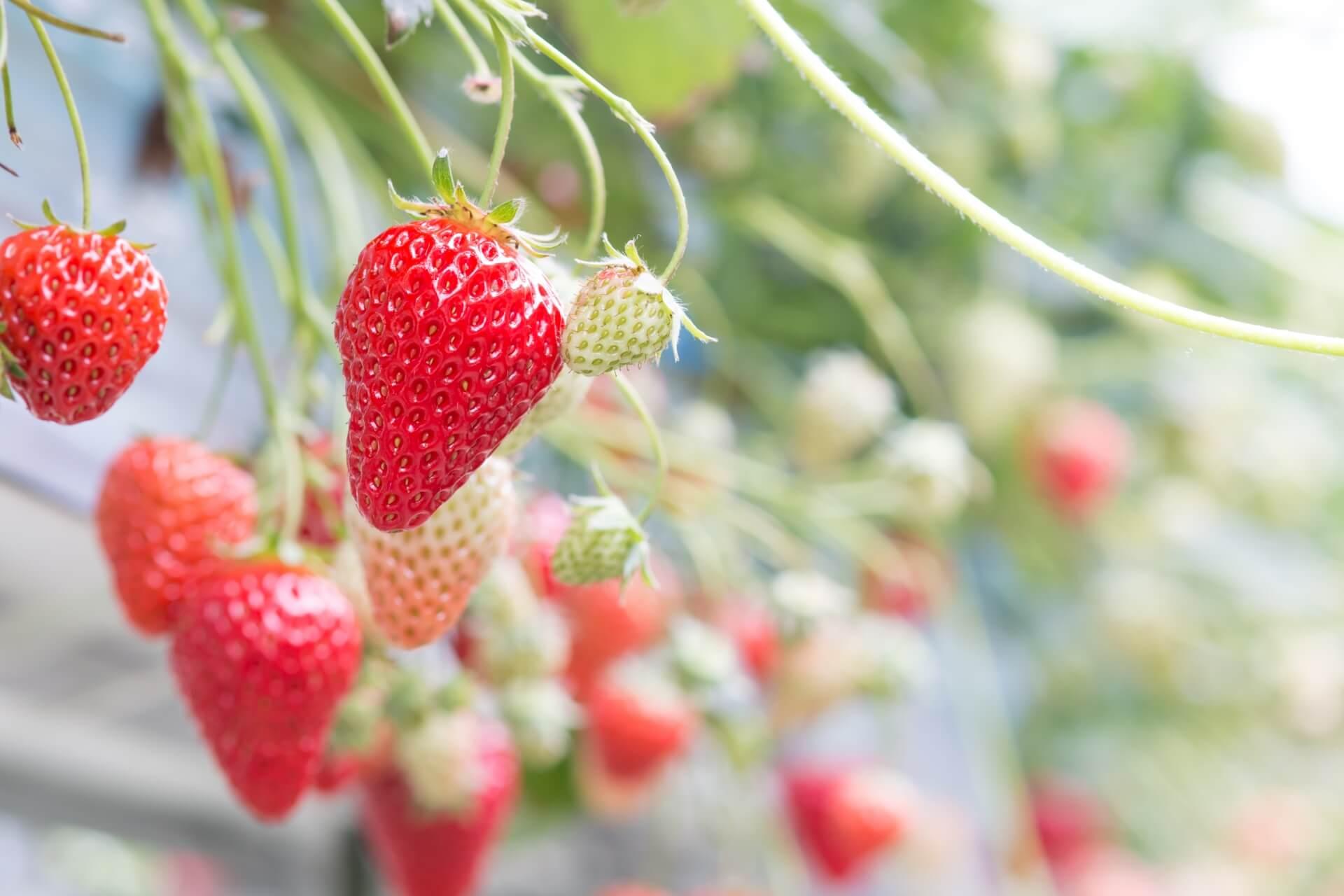 埼玉県で人気のイチゴ狩りスポットを紹介!