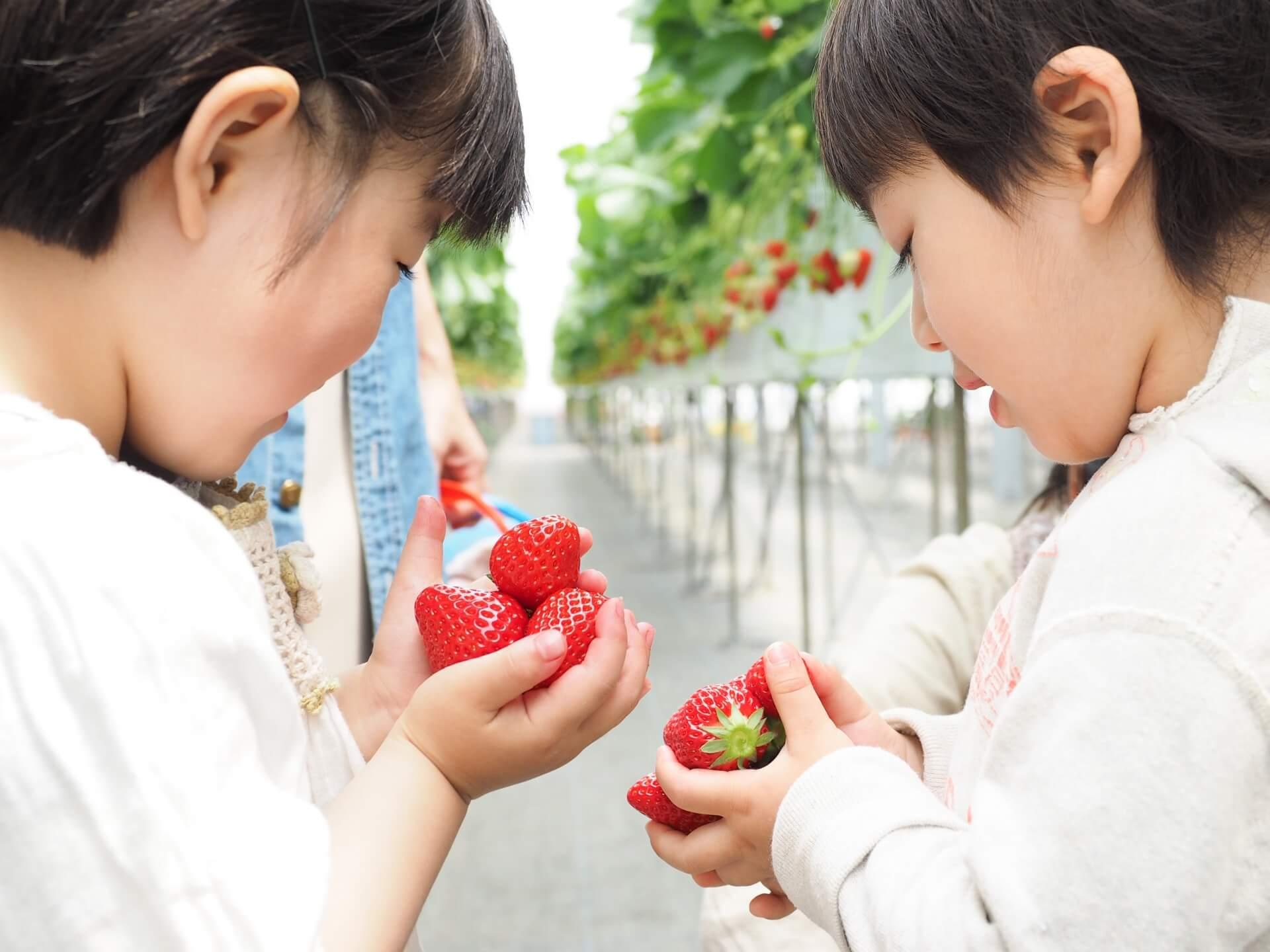 栃木県で人気のイチゴ狩りスポットを紹介!