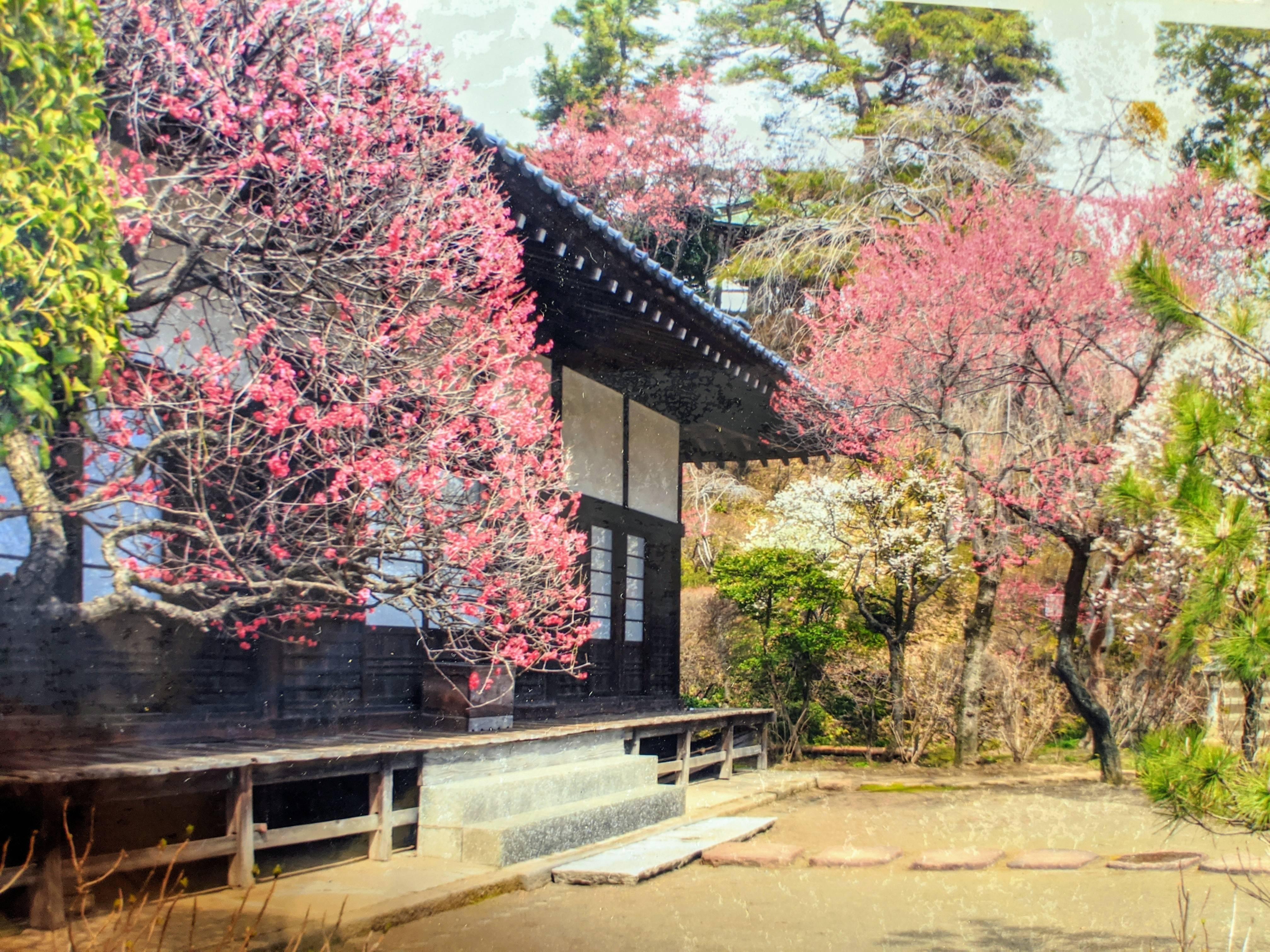 妙覚寺の梅.jpg