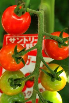 ミニトマト①.JPG