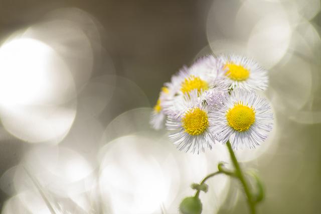 ザ・タイガース【花の首飾り】歌詞の意味を徹底解説!なぜ白鳥が娘になるのか?首飾りが意味するものとはの画像