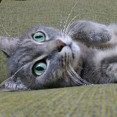 あおい猫のアイコン