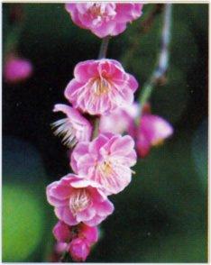 画像:1-2月 コウバイ 花 (Flower Scene) 2017年版カレンダー
