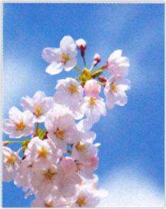 画像:3-4月 サクラ 花 (Flower Scene) 2017年版カレンダー