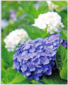画像:5-6月 アジサイ 花 (Flower Scene) 2017年版カレンダー