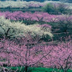 画像:山梨県笛吹市 桃咲く里の春の色を写した風景/3-4月  四季・前田真三(フィルムカレンダー) 2017年版カレンダー