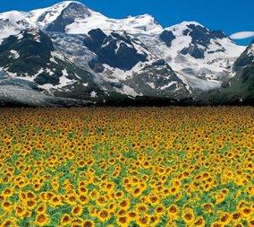 画像:7-8月 エドモンド・ネゲール写真 ベルンのひまわり畑(スイス) 光の幻影 2017年版カレンダー
