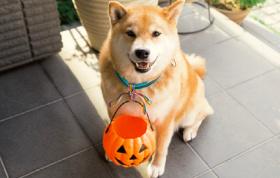 画像:10月 柴犬まるとおさんぽ 2018年カレンダー