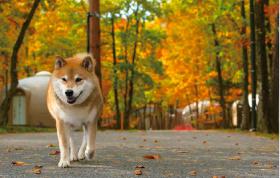 画像:11月 柴犬まるとおさんぽ 2018年カレンダー
