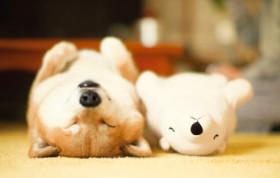 画像:1月 柴犬まるとおさんぽ 2018年カレンダー