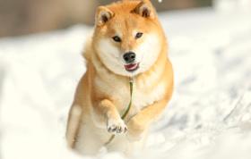 画像:2月 柴犬まるとおさんぽ 2018年カレンダー