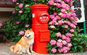 画像:6月 柴犬まるとおさんぽ 2018年カレンダー