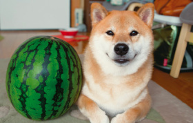 画像:7月 柴犬まるとおさんぽ 2018年カレンダー