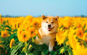 画像:8月 柴犬まるとおさんぽ 2018年カレンダー