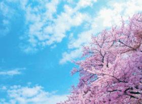 画像:4月 青空に満開の桜 SORA -空- 2018年カレンダー