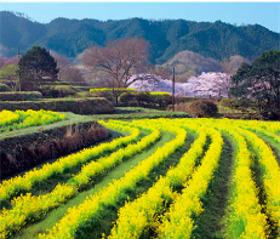 画像:3月 明日香村(奈良) 日本の朝 2018年カレンダー