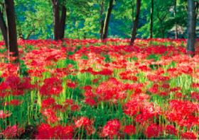 画像:9月 埼玉県 巾着田 フォーエバージャパン 2018年カレンダー
