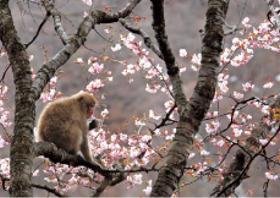 画像:4月 長野県 下高井郡 フォーエバージャパン 2018年カレンダー