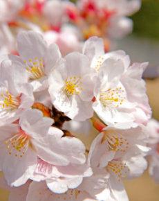 画像:3-4月 サクラ 花 (Flower Scene) 2018年カレンダー